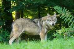 wolf-predator-european-wolf-carnivores-162256.jpeg